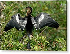 Anhinga Sunning Acrylic Print by Anthony Mercieca