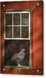Animal - Bird - Chicken In A Window Acrylic Print by Mike Savad