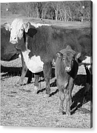 Animals Cows The Curious Calf Black And White Photography Acrylic Print by Ann Powell