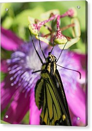 Acrylic Print featuring the photograph Anise Swallowtail Butterfly And Passionflower by Priya Ghose
