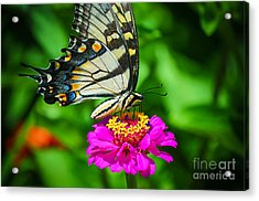 Anise  Swallowtail Butterfly Acrylic Print by Peggy Franz