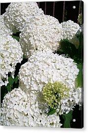 Annabelle Hydrangea  Acrylic Print