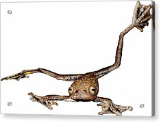 Annam Flying Frog Acrylic Print by Roger Hall