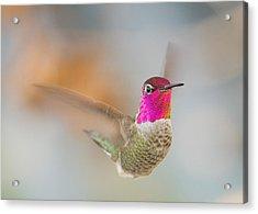 Anna's Hummingbird Acrylic Print by Doug Herr