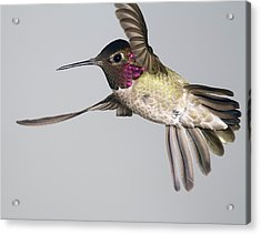 Acrylic Print featuring the photograph Annas Hummingbird  by Gregory Scott