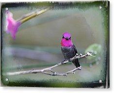 Anna's Hummingbird - Male Acrylic Print by Angela A Stanton