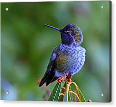 Annas Hummingbird Acrylic Print by Randy Hall