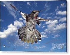 Annas Hummingbird Acrylic Print by Ron Sanford