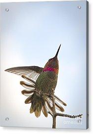 Anna's Hummingbird Acrylic Print by Sukhdev Saini