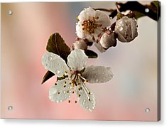 Announcing Spring Acrylic Print by Mary Jo Allen