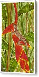 Anolis Humilis Acrylic Print