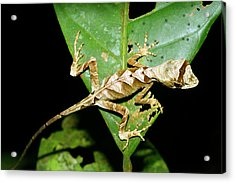 Anolis Lizard Acrylic Print by Dr Morley Read/science Photo Library