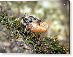 Ant Carrying Cocoon Acrylic Print by Pan Xunbin
