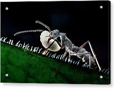 Ant Carrying Larva Acrylic Print by Melvyn Yeo