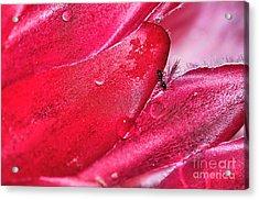 Ant Exploring Protea Petals Acrylic Print by Kaye Menner