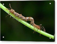 Ant-mimic Caterpillar Acrylic Print