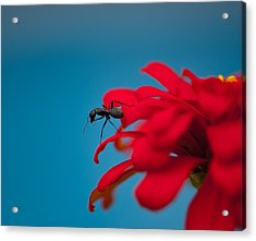Ant On Flower Acrylic Print by Sarah Crites