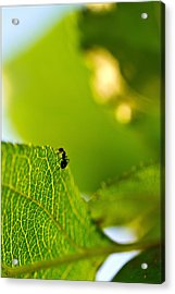 Ant Scout Acrylic Print