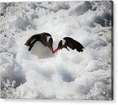 Antarctica A Pair Of Gentoo Penguins Acrylic Print by Janet Muir