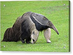 Anteater Ready To Eat Some Ants Acrylic Print by Jim Fitzpatrick