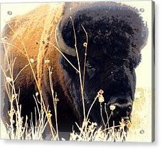 Antelope Island Buffalo Acrylic Print by Heidi Manly