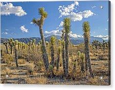 Antelope Valley Joshua Trees 1 Acrylic Print