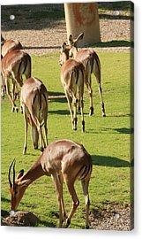 Antelopes Acrylic Print by Tinjoe Mbugus