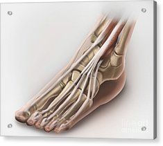 Anterior Compartment Anatomy Of Left Acrylic Print by Alan Gesek