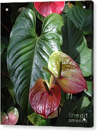 Anthurium Acrylic Print by Ann Johndro-Collins
