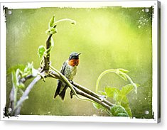 Antique Hummingbird Postcard No. 9038 Acrylic Print