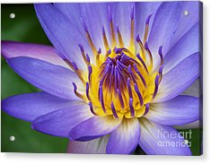 Ao Lani Heavenly Light  Nymphaea Nouchali Acrylic Print by Sharon Mau