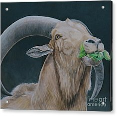 Aoudad Sheep Acrylic Print by Charlotte Yealey