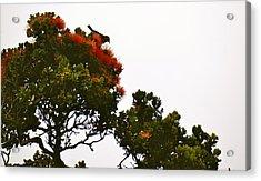 Apapane Atop An Orange Ohia Lehua Tree  Acrylic Print by Lehua Pekelo-Stearns