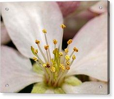 Apple Blossom 2 Acrylic Print by Carl Engman
