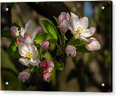 Apple Blossom 3 Acrylic Print by Carl Engman