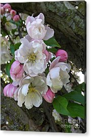 Apple Blossom Bouquet Acrylic Print