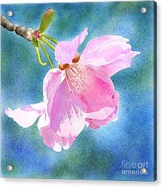 Apple Blossom On Blue Acrylic Print