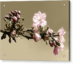 Apple Blossom On Sepia Acrylic Print by Yvon van der Wijk