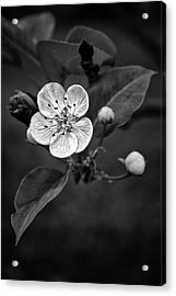 Acrylic Print featuring the photograph Apple Blossom On The Farm by Ben Shields