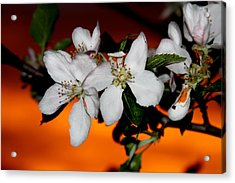 Apple Blossom Sunrise I Acrylic Print