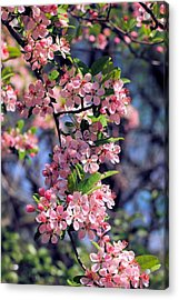 Apple Blossom Time Acrylic Print by Katherine White