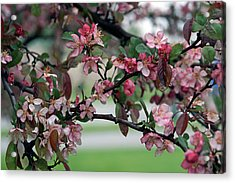 Acrylic Print featuring the photograph Apple Blossom Time by Kay Novy