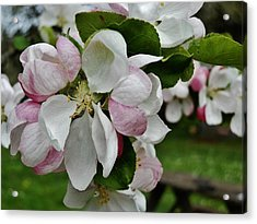 Apple Blossoms 2 Acrylic Print by VLee Watson