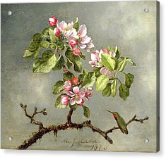Apple Blossoms And A Hummingbird Acrylic Print by Martin Johnson Heade