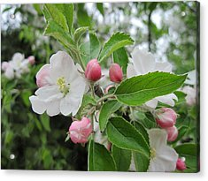 Apple Blossoms And Buds Acrylic Print