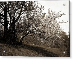 Apple Blossoms, Apple Trees, Flowers Acrylic Print by Litz Collection