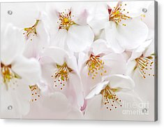 Apple Blossoms Acrylic Print by Elena Elisseeva