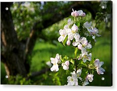 Apple Blossoms In The Orchard Acrylic Print