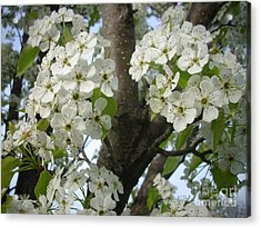 Apple Blossoms Acrylic Print by Randi Shenkman