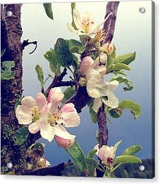 Apple Blossoms Right Outside My Studio Acrylic Print